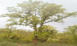 Sal tree wood in hindi
