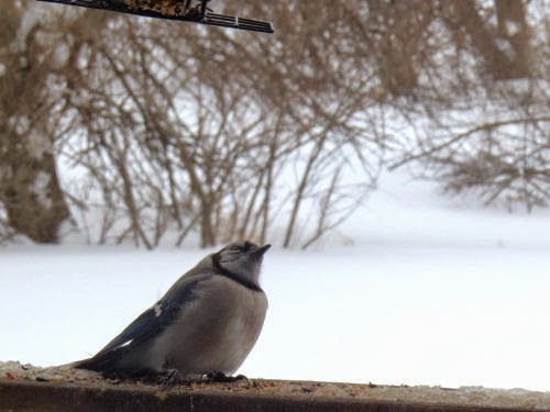 injured blue jay