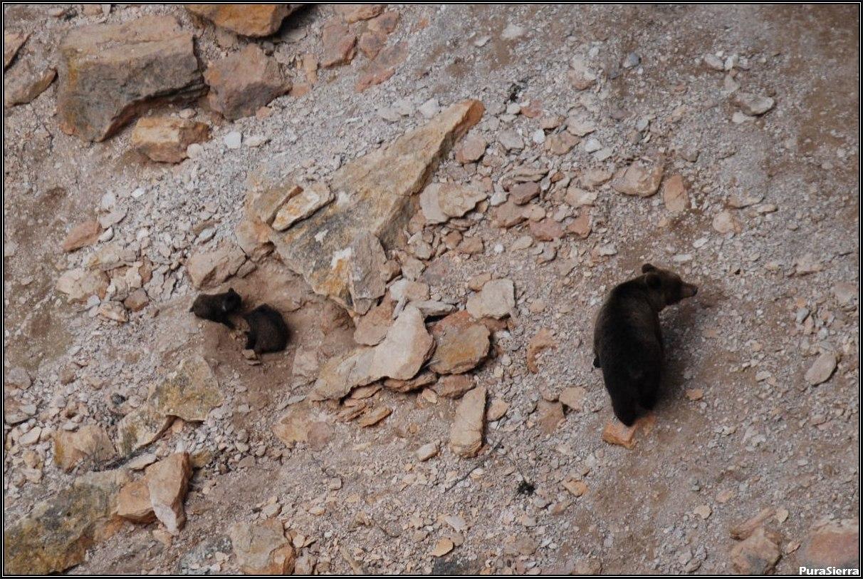 Osa con sus oseznos en el Rincón Del Buitre (El Hosquillo)