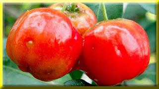 gambar buah acerola