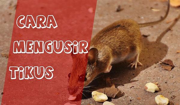 Cara Paling Alami Mengusir dan Membasmi Tikus Praktis, dan Ampuh