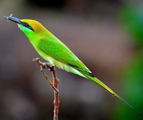 Indian birds - Asian green bee-eater - Merops orientalis