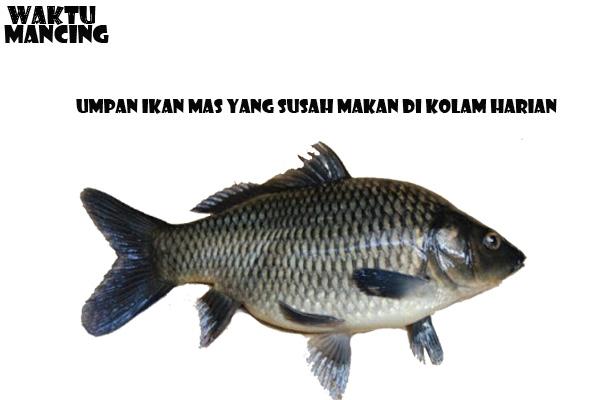 Umpan Ikan Mas Yang Susah Makan Di Kolam Harian