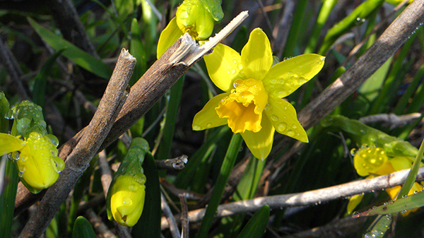 Yellow Mini Daffodil Buds and Blossoms
