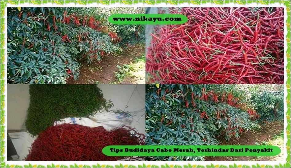 Tips Budidaya Cabe Merah, Terhindar Dari Penyakit Tahun 2020