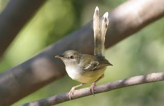 Burung Ciblek - Cara Membedakan Burung Ciblek Jantan dan Betina Ditelaah dari Paruhnya dan Kukunya - Penangkaran Burung Ciblek