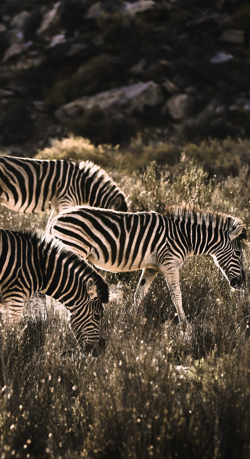 Zebras at morning sunrise.