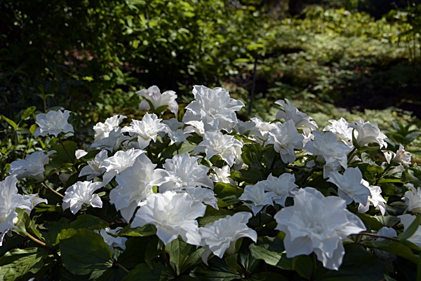 hvit blomst