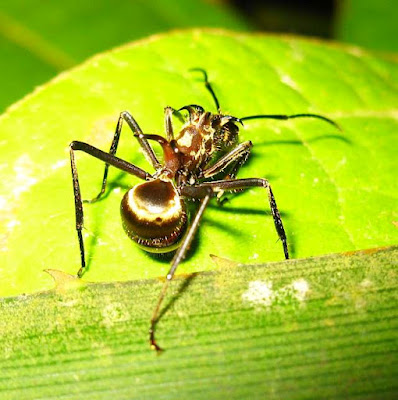 Polyrhachis ypsilon is one of the most brilliantly golden of the Polyrhachis genus