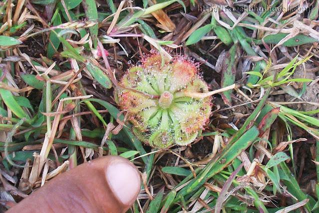 Drosera Spatulata Spoon Leaved Sundew Tamil Nadu Pudukottai