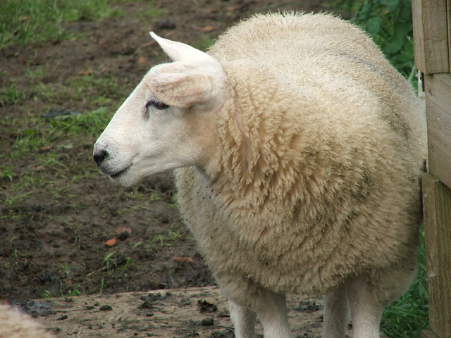 The Sheep around Otterburn Village