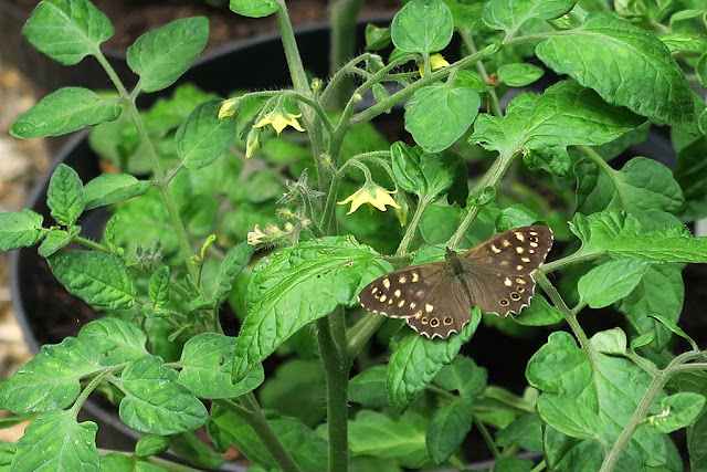 Brown Speckled Wood butterfly resting on green tomato leaves