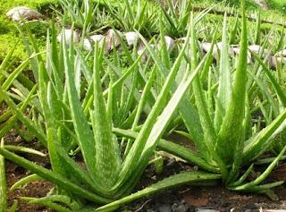 Lidah buaya yaitu flora dengan nama latin  Manfaat Lidah Buaya Bagi Kesehatan dan Kulit