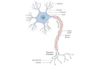 خلية عصبية (neuron)