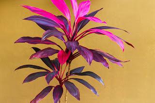 bunga Hanjuang atau Cordyline