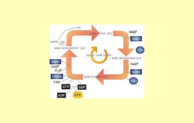 Pengertian, Fungsi, Proses Siklus Krebs