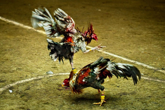 Xem Đá gà Philippin ở đâu