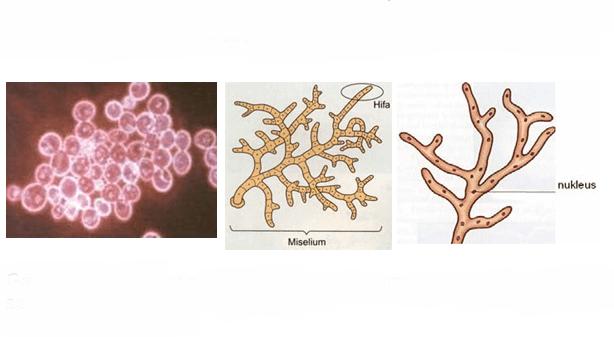 Fungi Cendawan - Ciri dan Klasifikasinya