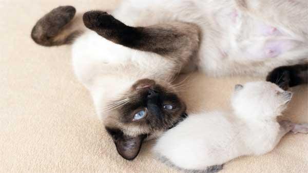 Siamese Cat Breed