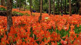 Gambar Bunga Amarilis