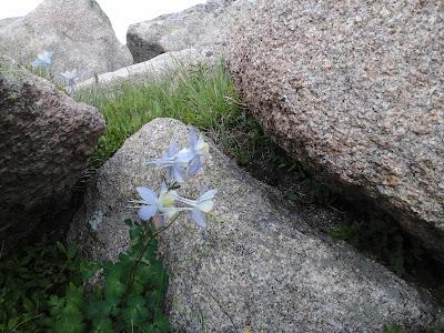 Wild flower growing in the rocks.