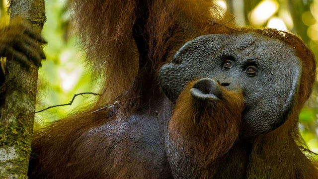 Secrets of orangutan language revealed