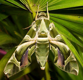 moths,beautiful moths,top 10 most beautiful moths in the world,most beautiful moths,beautiful,beautiful moths in,top 10 most beautiful moths,top 10,most beautiful,10 most beautiful,beautiful moths in the world,moth,butterflies,giant moths,top 10 moths,atlas moth,moths in,beautiful moth,top 10 most,moths in the,most beautiful moth in usa,nature,butterfly,beautifull,colorful moths,how to get rid of moths,Top 6 Most Beautiful Moth Species,techraj6,techraj6.com