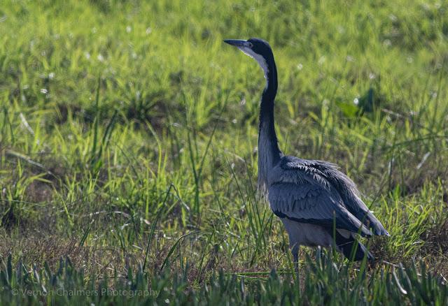 Black-headed Heron Table Bay Nature Reserve Woodbridge Island