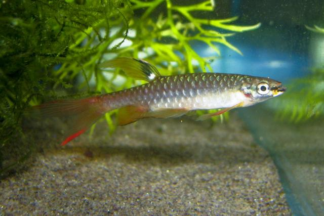 Peixe Piratantã (Copella arnoldi)