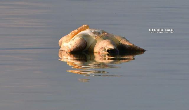 Νεκρή θαλάσσια χελώνα στο λιμάνι του Ναυπλίου