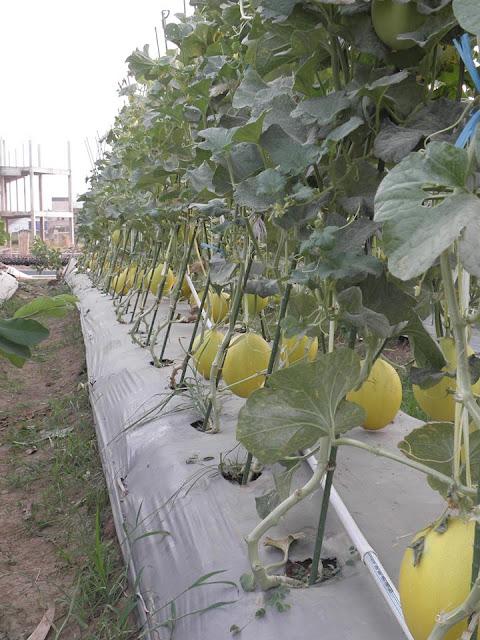 Jenis Tanah yang Bagus Menentukan Kualitas Buah Melon.