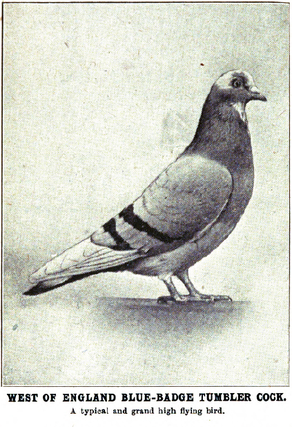 Birmingham Rollers and North American Roller Pigeons