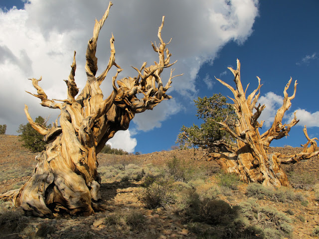 Do you know? Which are the oldest tree on earth?
