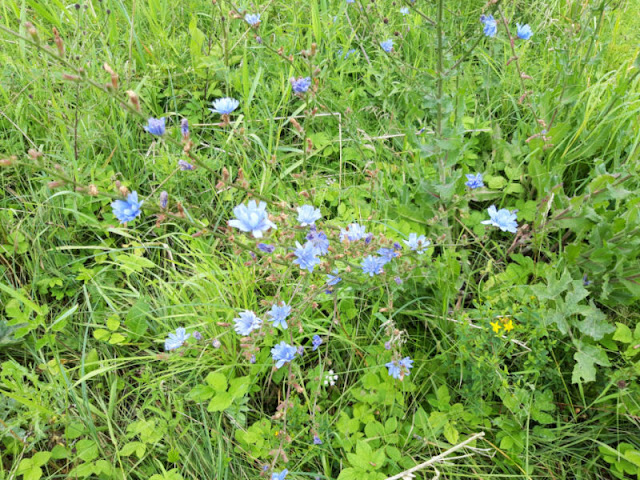 Blue chicory flowers growing in a grassy meadow