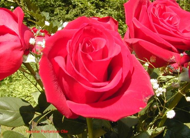 82+ Gambar Bunga Mawar Untuk Pemula Terbaik