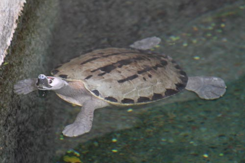 Malaysian Painted Turtle