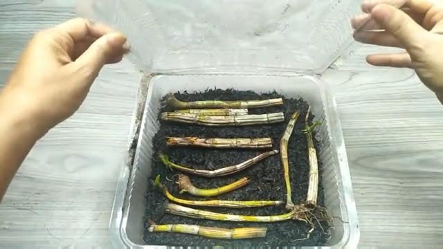 Meletakkan batang anggrek yang kering di atas sekam