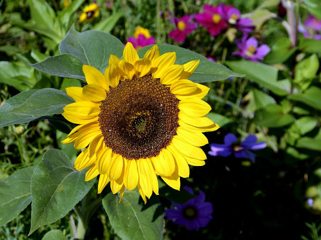Cara Menanam Biji Bunga Matahari Di Pot Agar Mau Berbunga Arafuru