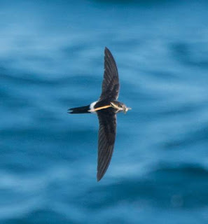 Pacific Swift - Apus pacificus