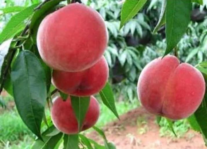 bibit persik benih pohontanaman buah bisa untuk tabulampot taman Sumatra Selatan