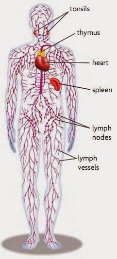 Peredaran Darah Getah Bening : peredaran, darah, getah, bening, Goresan, Penaku:, Peredaran, Getah, Bening, (Limfa)