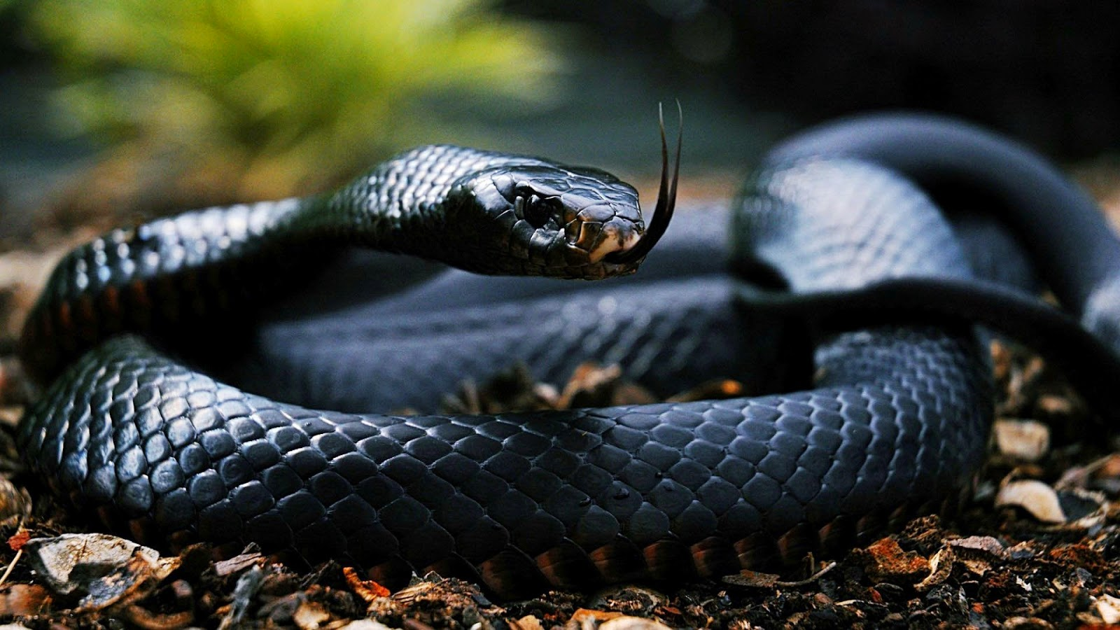 gambar ular nama hewan dari huruf U