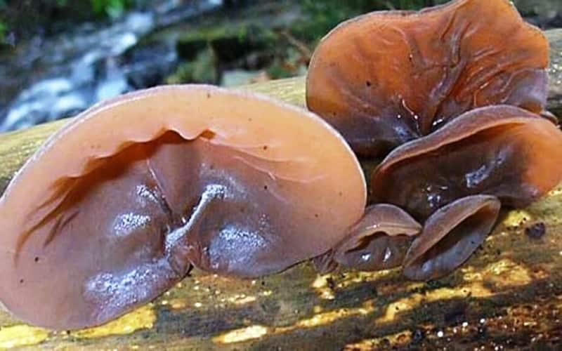 5 Creepy Plants And Fungi That Look Like Human Body Parts | Auricularia auricula-judae