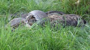 Largest Python in Africa