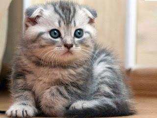 harga Kucing Scottishfold