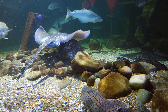 a dogfish lies on the bottom of a tank, while a small spotted ray swims over a pile of rocks