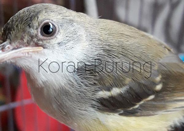 Panduan Cara Menjodohkan Dan Ternak Burung Ciblek