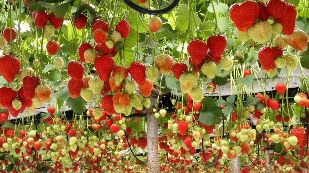 Golden revolution Fruits