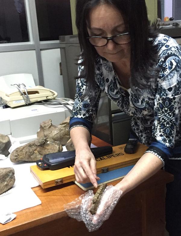 La geóloga del Museo Nacional Ana Lucía Valerio, muestra molares fosilizados.