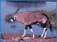 oryx_Oryx gazella pictures